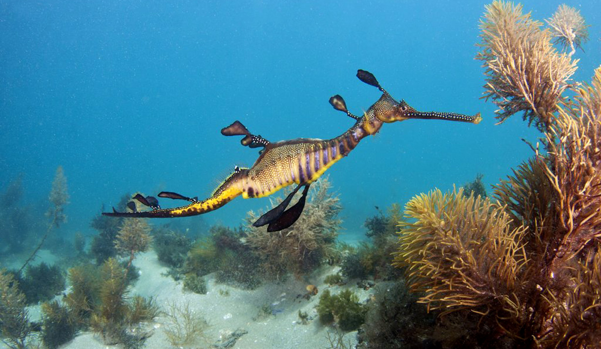 WEEDY / LEAFY SEA DRAGON . DIVE (THE RIP) .. (THE LONSDALE ...