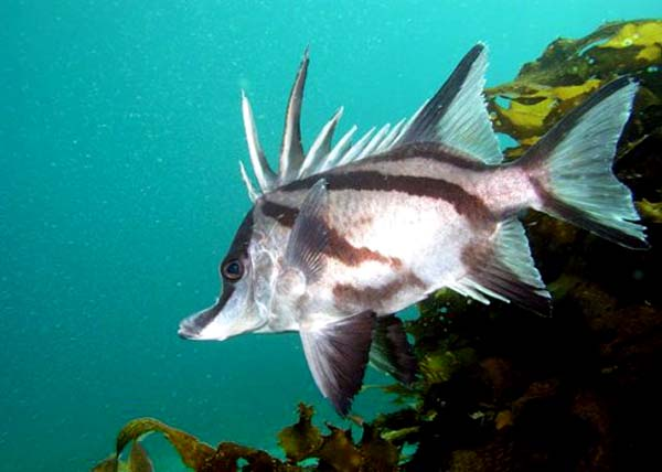 LONG SNOUT BOARFISH . DIVE (THE RIP) .. (THE LONSDALE WALL) .. (THE HEADS) .. (PORT PHILLIP HEADS), VICTORIA, AUSTRALIA