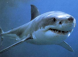 GREAT WHITE SHARK .. DIVE (THE RIP) .. (THE LONSDALE WALL) .. (THE HEADS) .. (PORT PHILLIP HEADS)