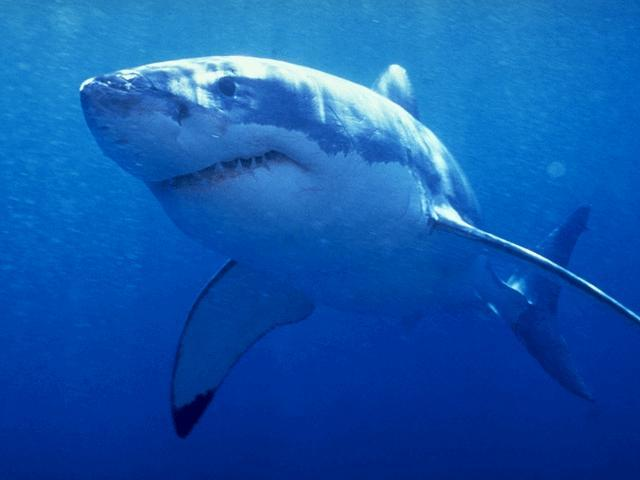 Great White Shark .. DIVE (THE RIP) .. (THE LONSDALE WALL) .. (THE HEADS) .. (PORT PHILLIP HEADS), VICTORIA, AUSTRALIA